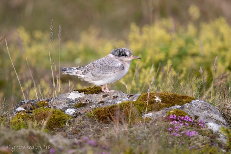 Arctic tern fledgling