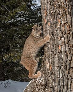 Canada Lynx in the Snow