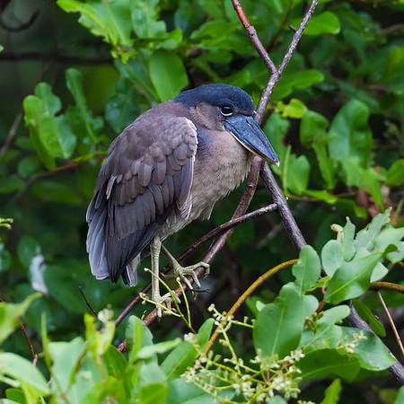 Boatbilled Heron