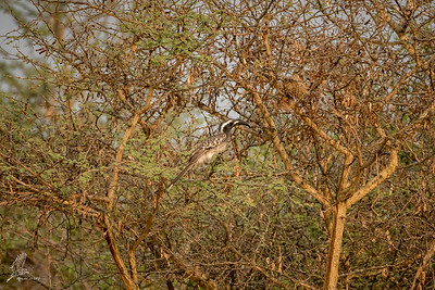 Hornbill, African Grey (ssp. nasutus)