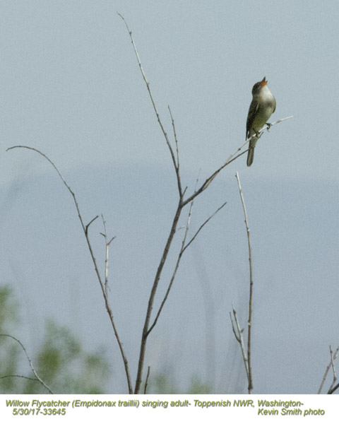 Willow Flycatcher 33645.jpg