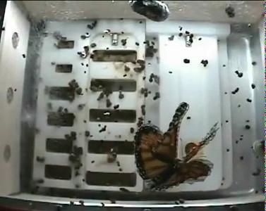Monarch, Flight, Wide Angle, 12-03-09, BioServe.mp4
