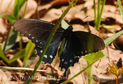 Butterflies Georgia