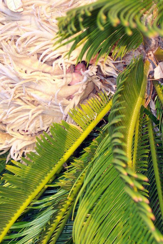 Sago Palm up close