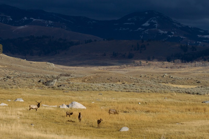 A bull Rocky Mountain Elk keeps close watch on his small harem in the Lamar Valley [October; Yellowstone National Park, Wyoming]