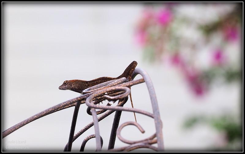 2015-09-29_P9290088_ anole lizard,Clearwater,Fl..JPG
