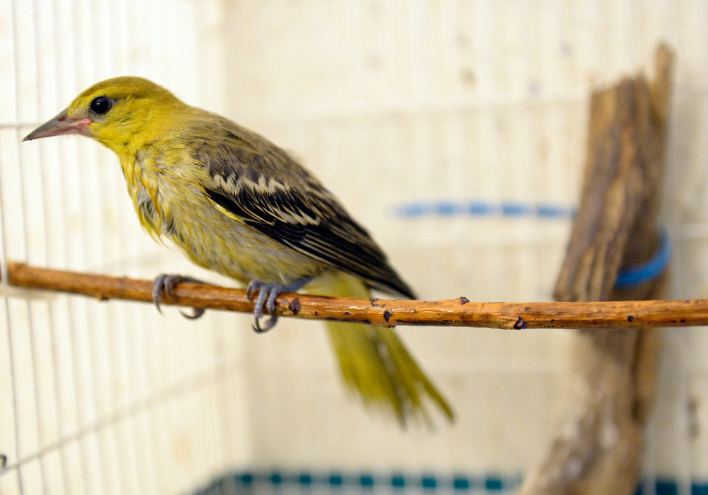 . DENVER, CO - JULY 30:  Wild B.I.R.D. Rehabilitation Center  will be closing it\'s doors, at the 1880 S. Quebec Way location, on September 1, 2014. They have cared for thousands of  sick, injured or abandoned birds.   A  Bullock\'s oriole that fell out of a nest is recovering at the center on  Wednesday, July 30, 2014.  They are closing because it is not properly zoned for the organization�s needs. They are fund raising to open at a new location in Wheat Ridge. (Denver Post Photo by Cyrus McCrimmon)