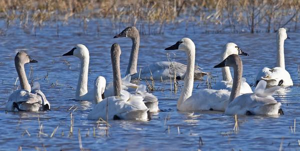 The Tundra Swans of Englehard, NC