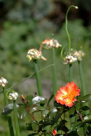 Flowers_060510_0190.JPG