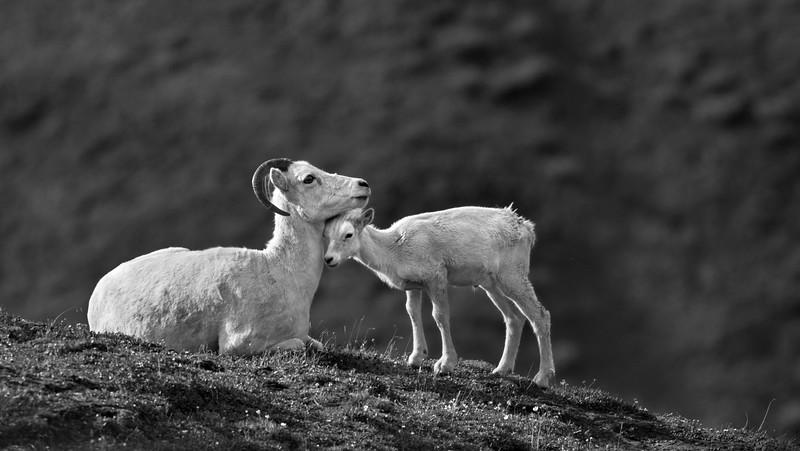 Lamb and Ewe.jpg