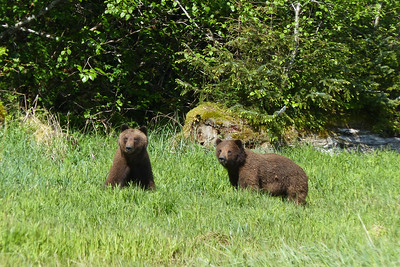 Brown Bear Youngsters May 2016, Cynthia Meyer, Tenakee Springs, Alaska P1180901