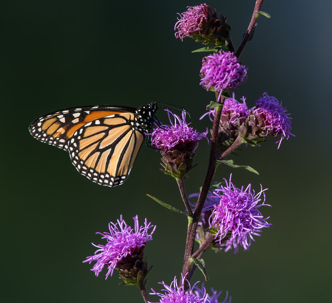 Monarch on blazing star