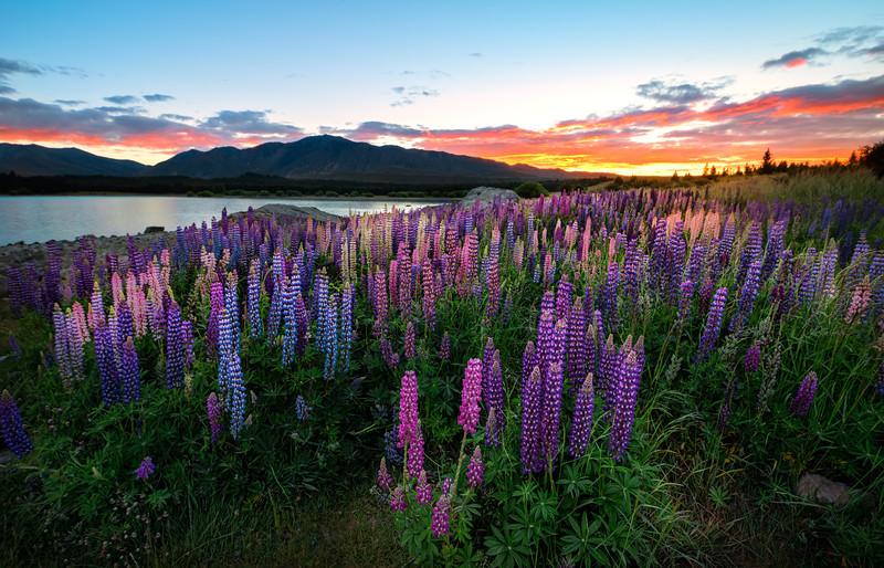 Lupins !  -  Lake Tekapo, New Zealand.jpg