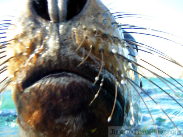 western australia wildlife sea lion.png