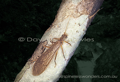 South East Asian Plecoptera (Stoneflies, Roachflies)
