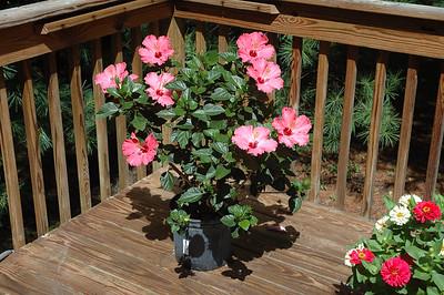 08-12-07 Mom's Hibiscus
