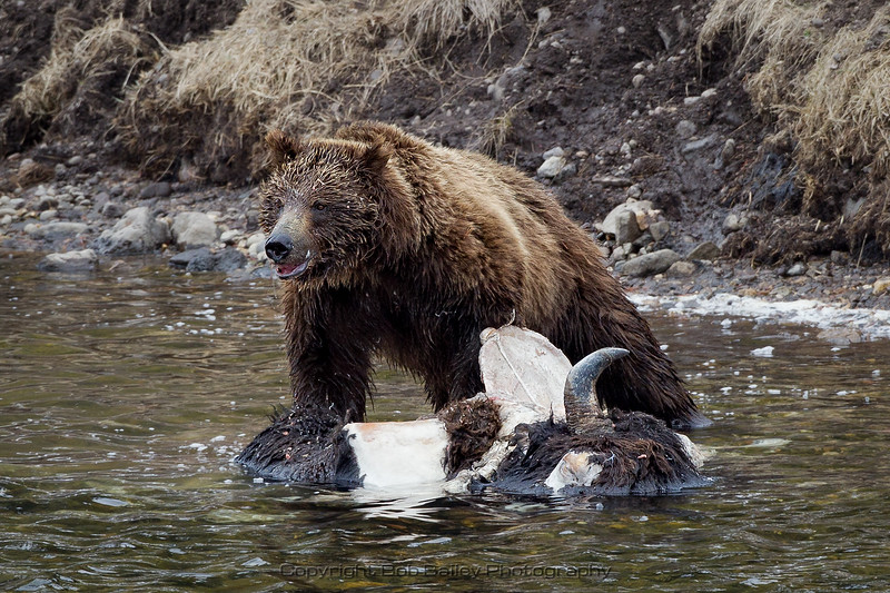Grizzly Bear on Bison Carcass