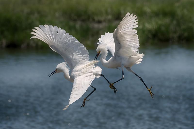 Egrets-cropped_DSC5772-Edit.jpg