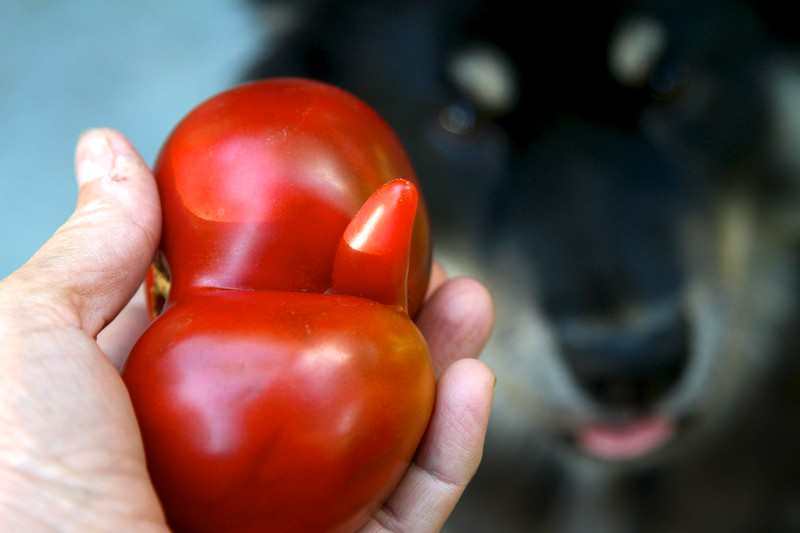 """2012 HEIRLOOM TOMATO HARVEST Onni wouldn't leave me alone. He thought I was going to """"toss the ball"""" to him"""