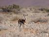 Springbuck in the Namib-Naukluft National Park