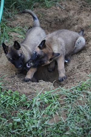 Essor Puppies 5_24_2011 (7 weeks 2 days)