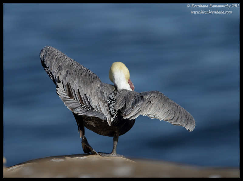 Brown Pelican in breeding plumage flying out, La Jolla Cove, San Diego County, California, December 2011