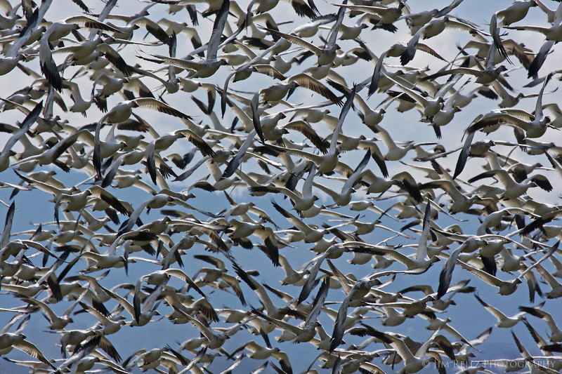 Snow geese, Fir Island