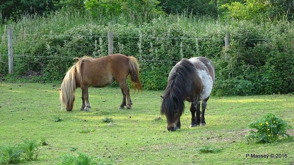 Shetland Ponies - Nursling