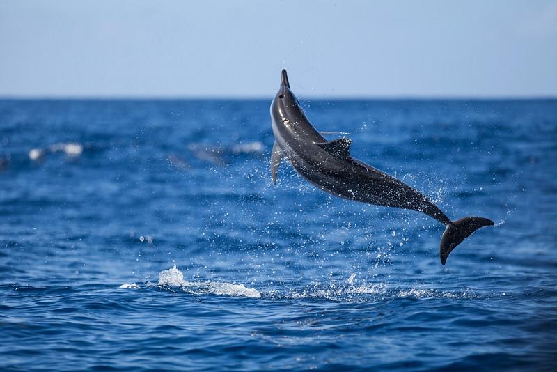 Spinner Dolphin #1