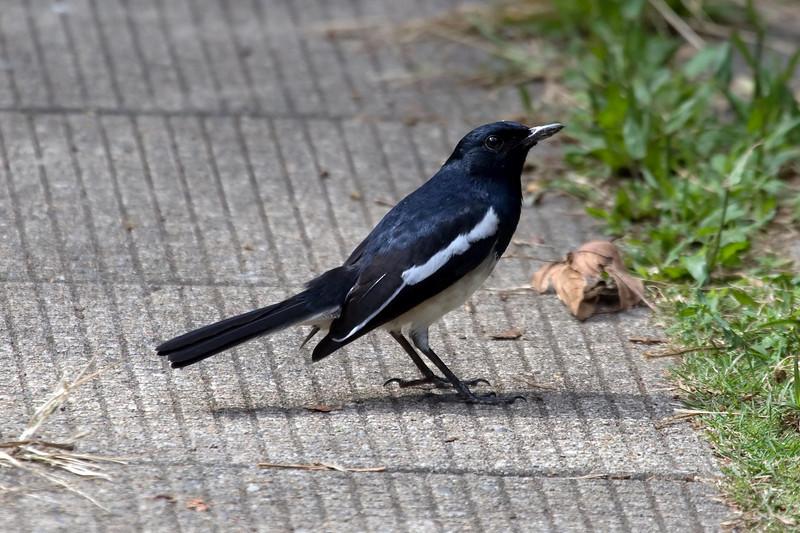 Oriental Magpie-Robin at Hong Kong, China (11-9-08).psd
