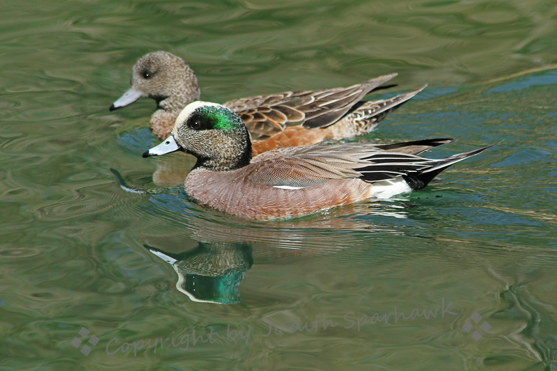 American Wigeons ~ This pair of American Wigeons swam in formation, reflected in the pond in a local park.