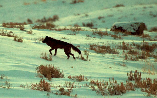 Wolves in the Wild: Blacktail Pack