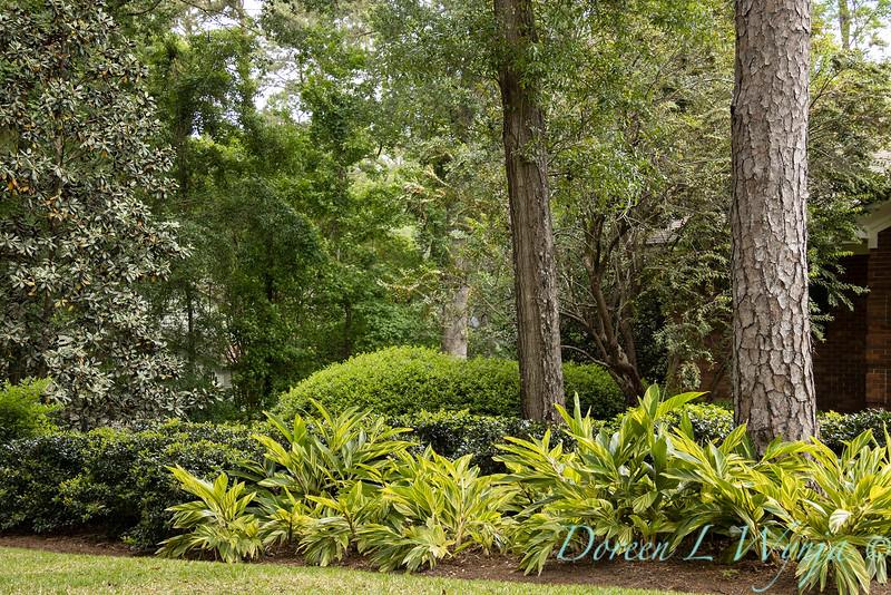 Alpinia zerumbet 'Variegata' shell ginger landscape_2048.jpg