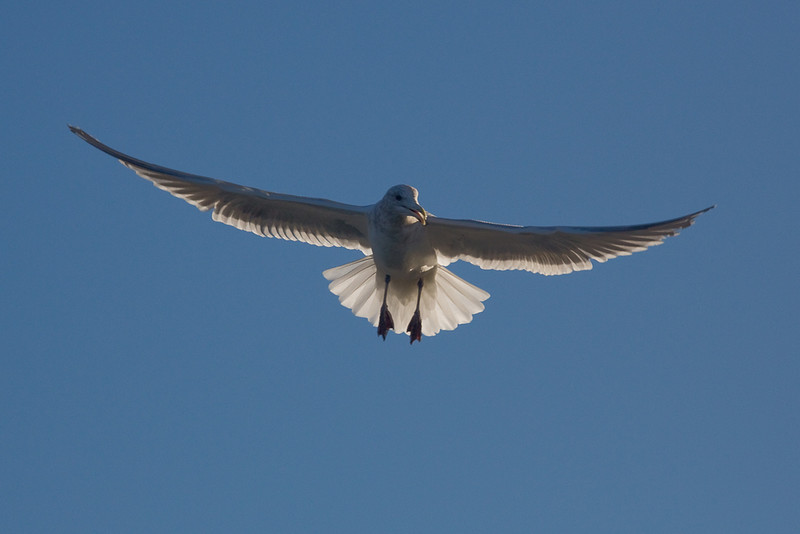 seagull in air.jpg