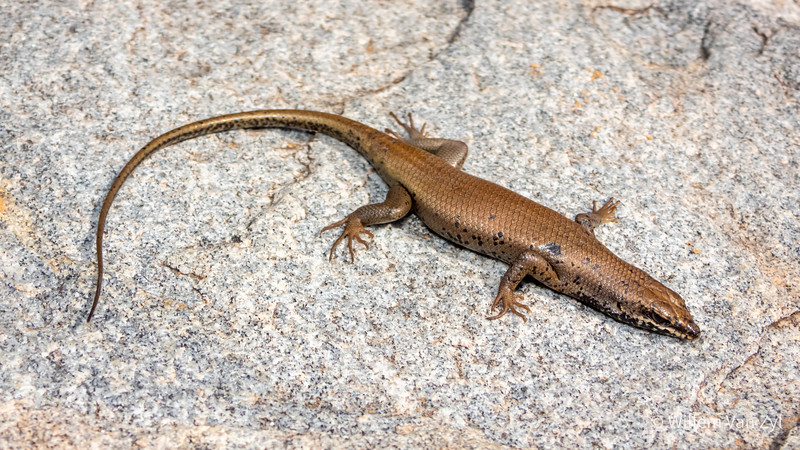 20200523 Western Rock Skink (Trachylepis sulcata) from Springbok, Northern Cape