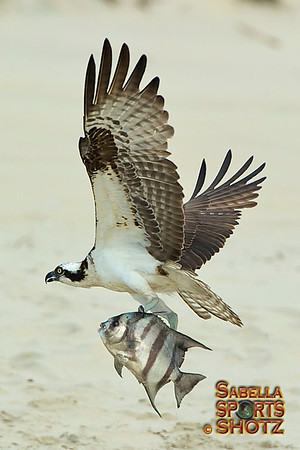 Osprey & Other Birds of the Outer Banks, NC