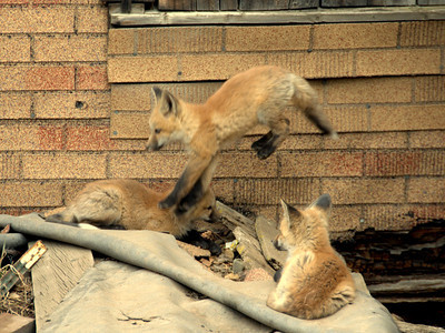 who doesn't like baby foxes/kits
