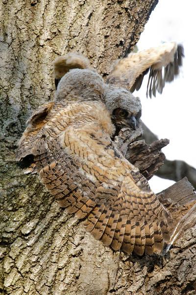 Owl - Great Horned - juvenile - Silverwood Park - New Brighton, MN - 07
