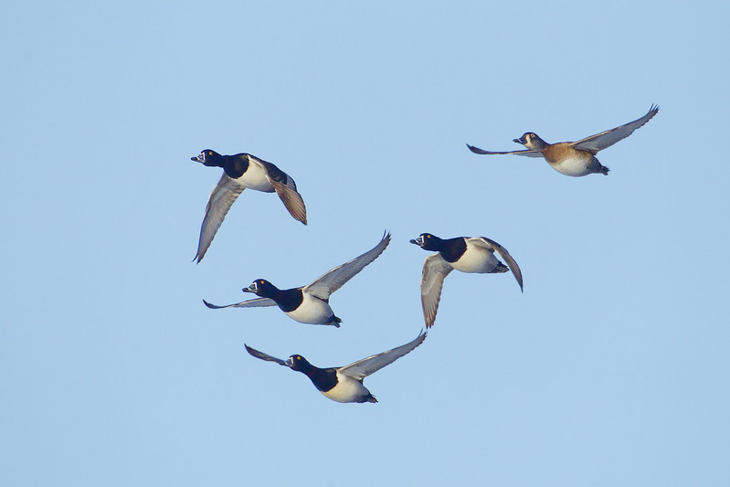 Ringneck Ducks courtship flight