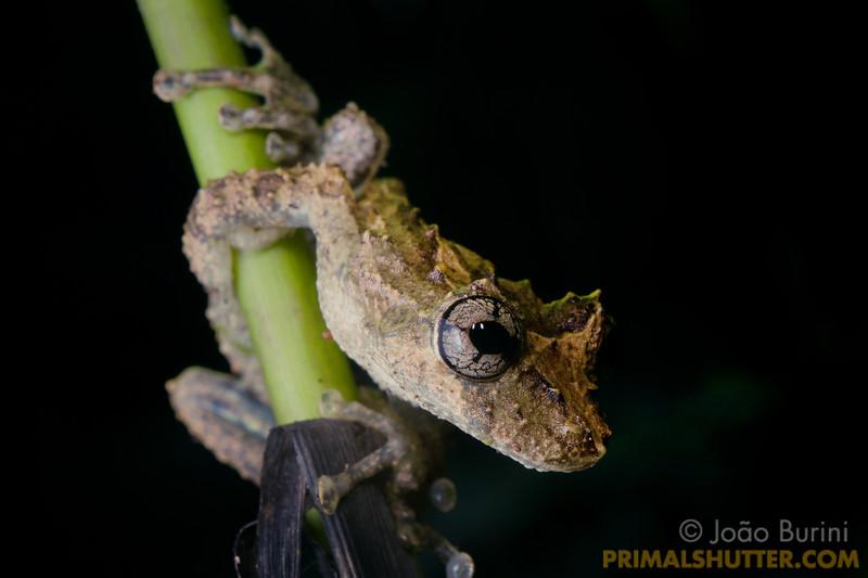 Treefrog on a plant stalk