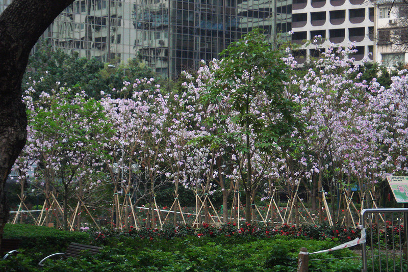 Cherry Blossoms in Kowloon Park.jpg