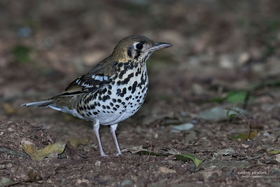 Spotted Ground Thrush (Geokichla guttata)