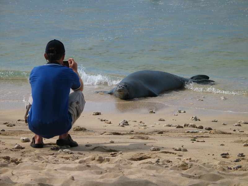 Seal coming ashore in Oahu