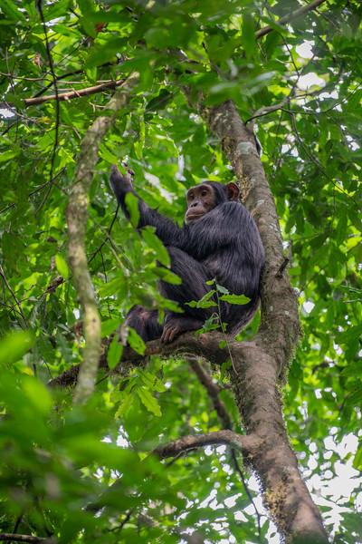 Uganda_T_Chimps-556.jpg