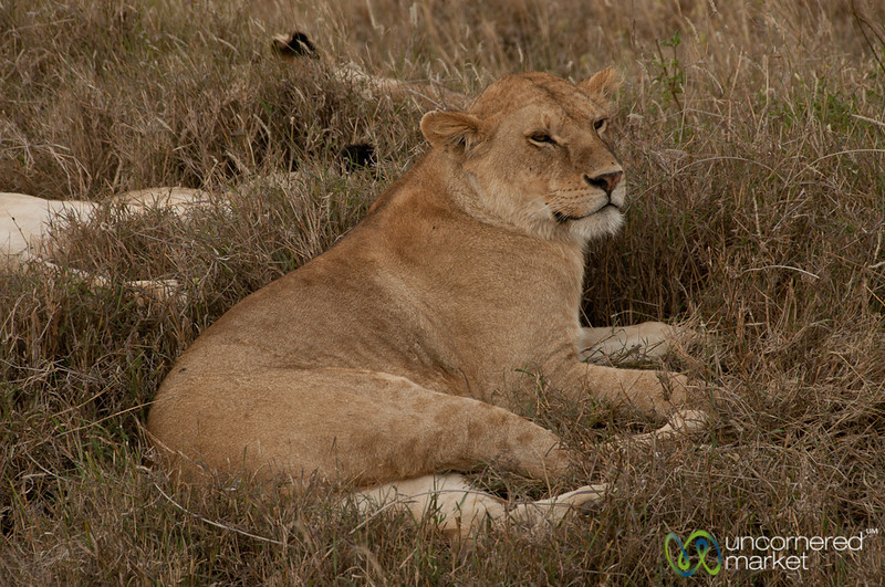 Female Lion - Serengeti, Tanzania
