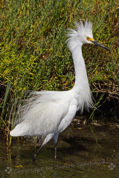 Irate Snowy Egret
