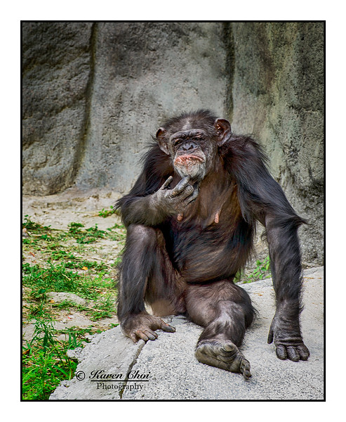 Chimpanzee Bad Hair Day sm.jpg