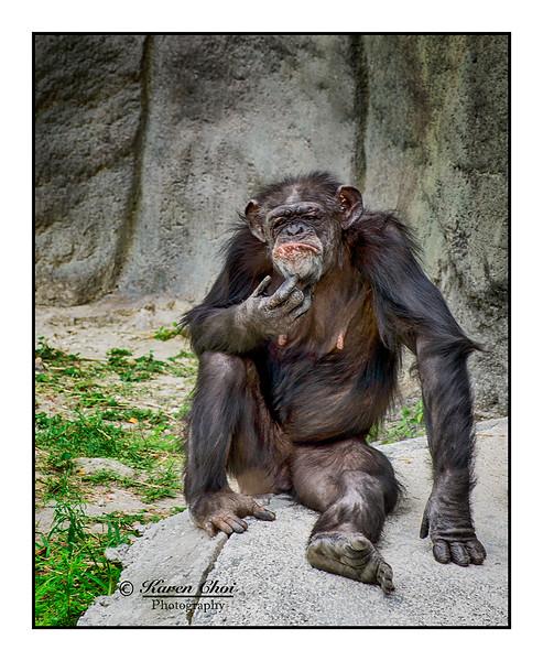 Chimpanzee Bad Hair Day sm.jpg