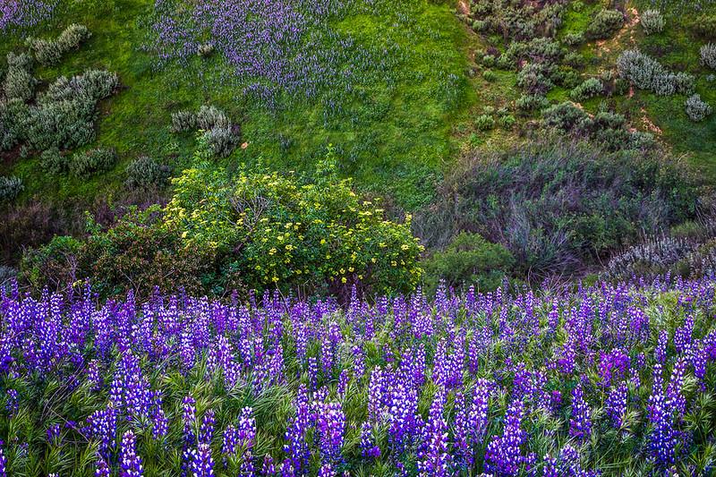 Santa_Clarita_Wildflowers_Southern_California_DSC1117b.jpg