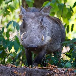 Pigs & Warthogs